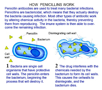How penicillins work